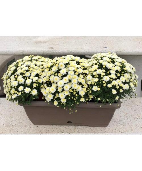 Jardinera crisantemos blancos
