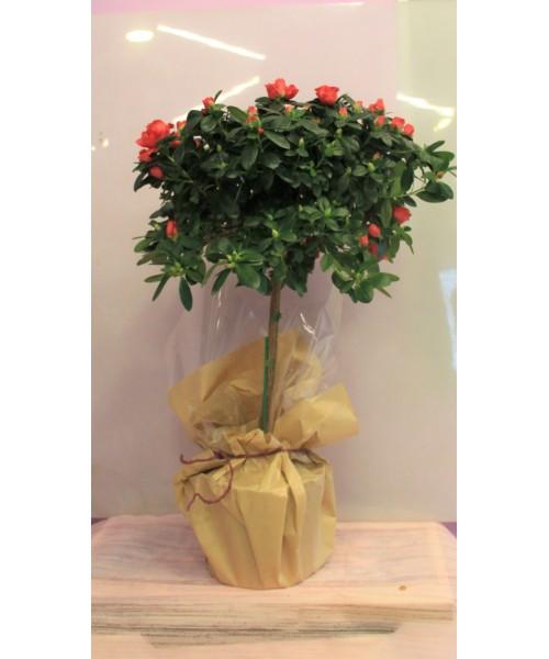 Azalea árbol