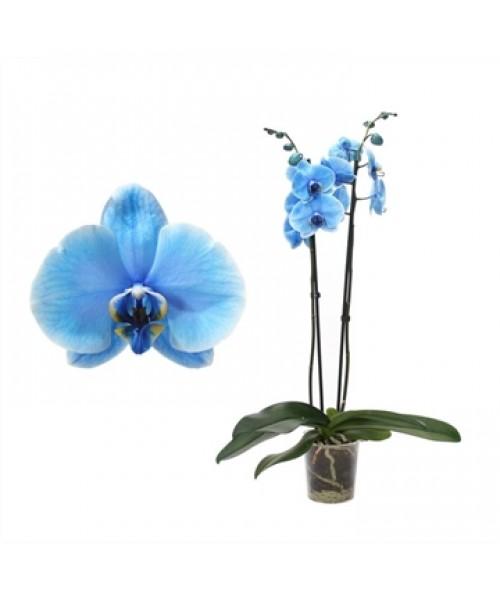 Orquídea Océano