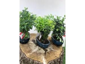 Bonsai alto 30 cm