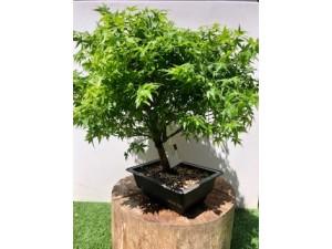 Bonsai arce palmatum 45 cm