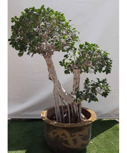 Bonsai ficus ramificado en bolas 150 cm