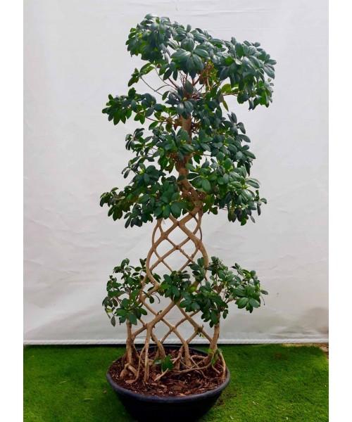Bonsai ficus trenzado plano 150 cm