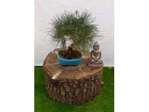 Bonsai pinus thumbergii 40 cm