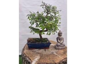 Bonsai zelkova 40 cm