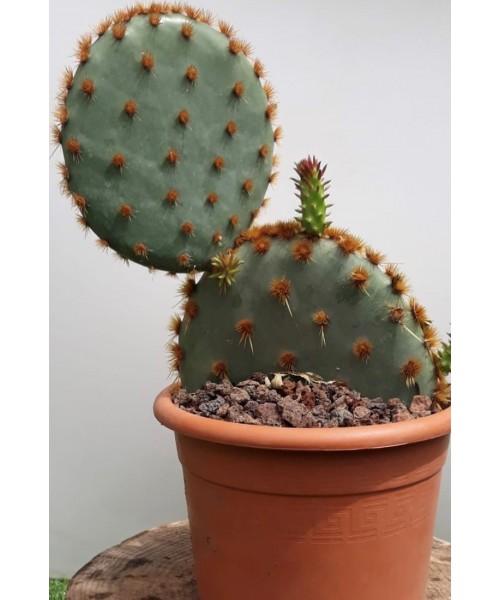 Cactus opuntias 40 cm