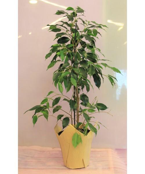 Ficus 80 cm