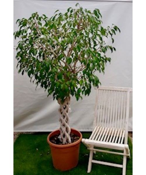 Ficus trenzado tronco 170 cm