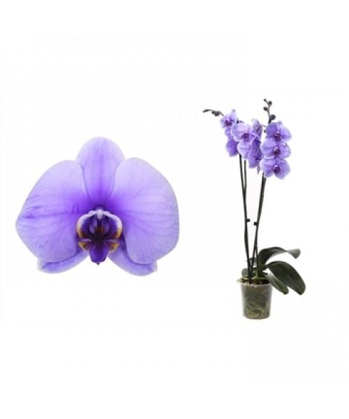 Orquídea  Te quiero