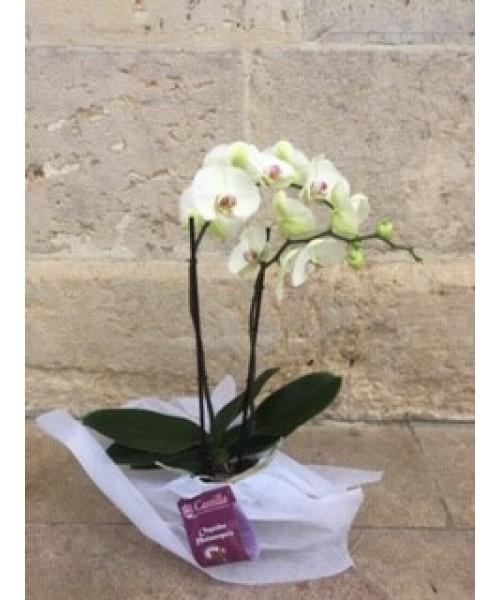 Orquidea phalaenopsis 2 varas alto 65 cm