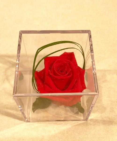 Rosa liofilizada multicolor
