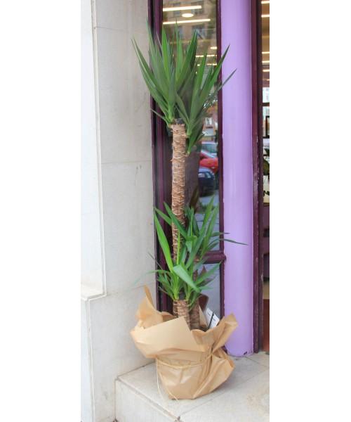 Yucca 165 cm