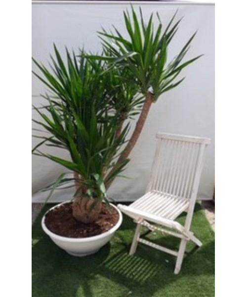 Yucca ramificada 170 cm