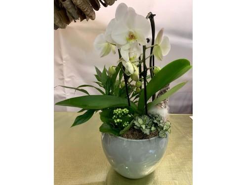 Centro de phalaenopsis