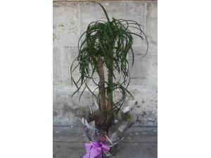Beucarnia